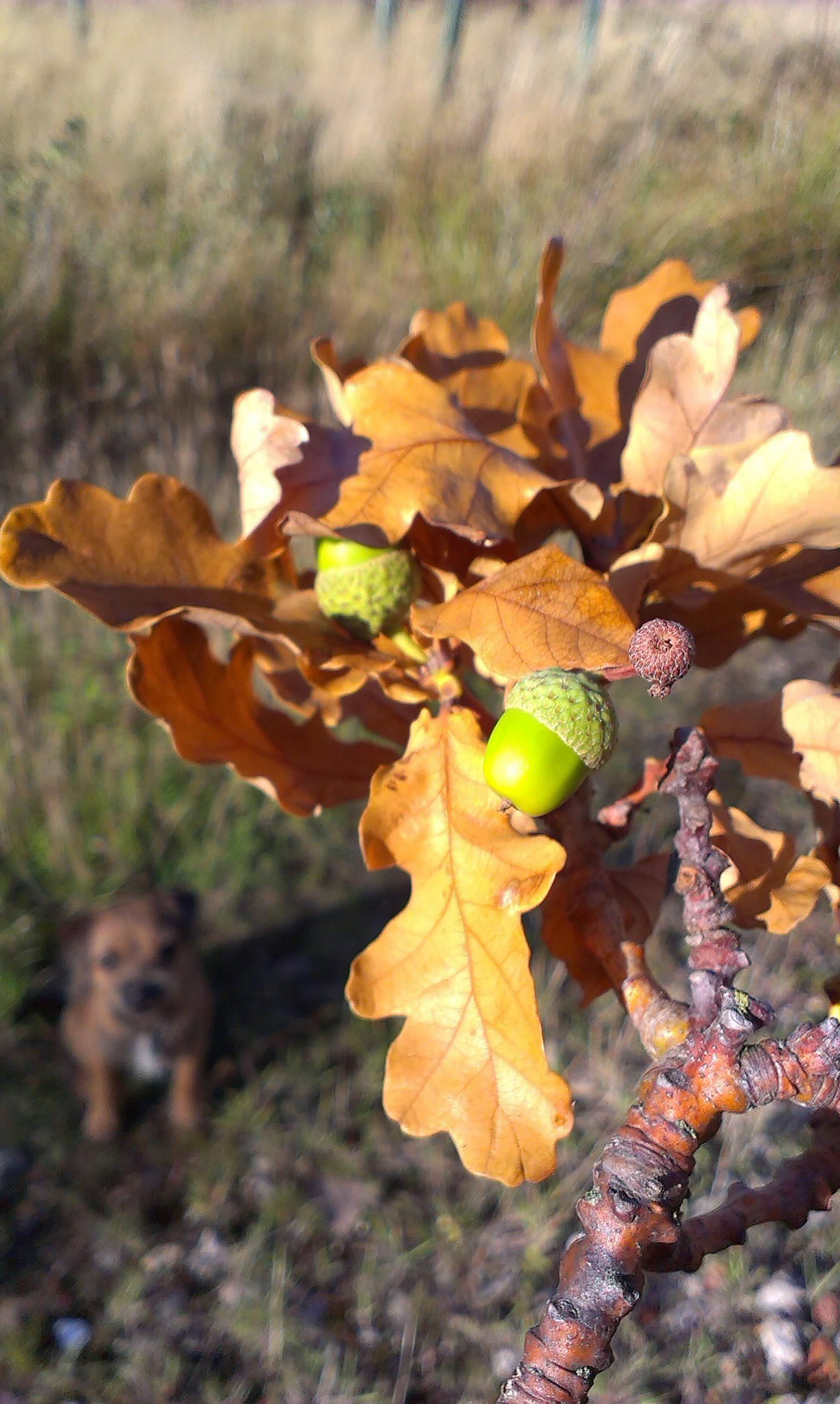 Acorns on a fallen branch